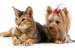 chat et chiens