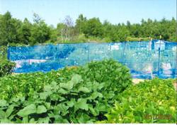 YM堆肥を使用した枝豆です。