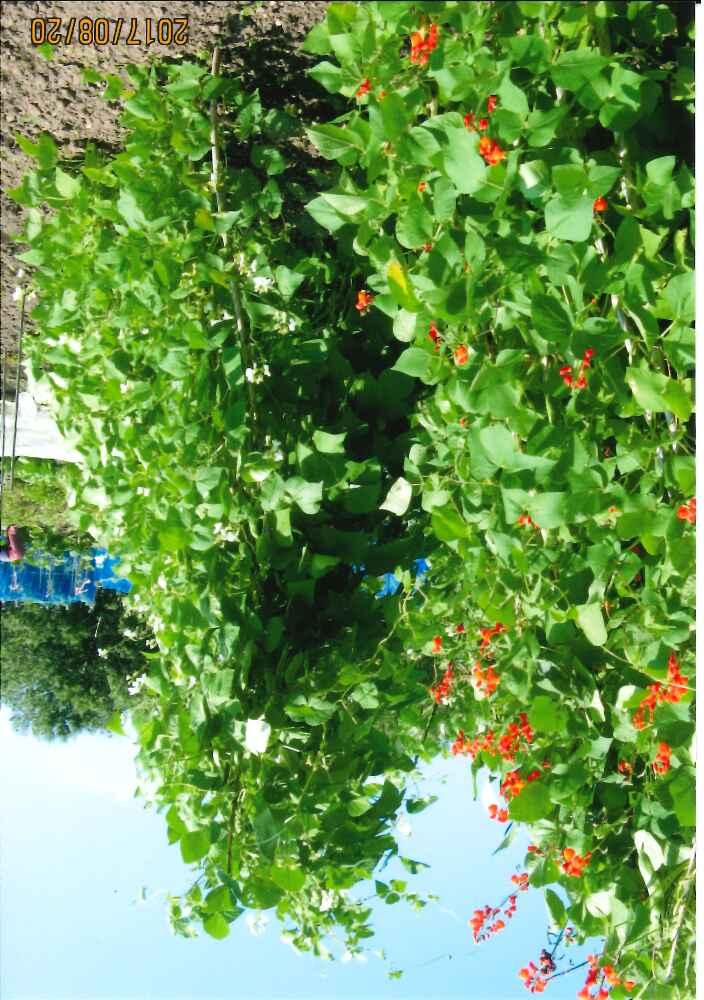 YM堆肥を使用した花豆です。