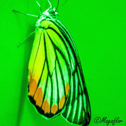 un papillon du Vietnam