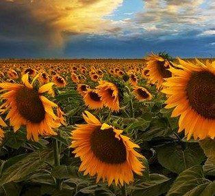 colorado_sunflowers