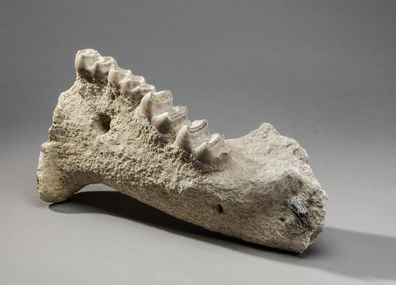 Fragment de mâchoire de Dinothérium
