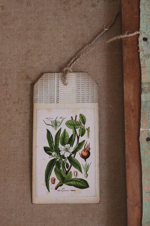 Mespilus Germanica