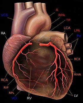 Herzkranzgefässe.jpg