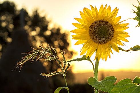 sunflower-1127174.jpg