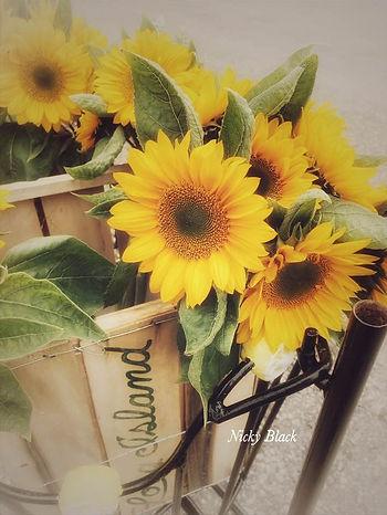 nicky black sunflowers.jpg