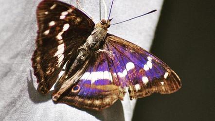 The Regal Purple Emperor.jpg