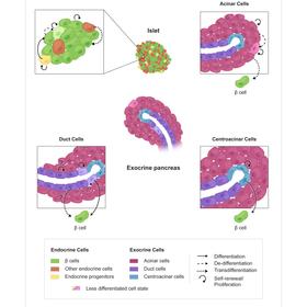 Debates in Pancreatic Beta Cell Biology