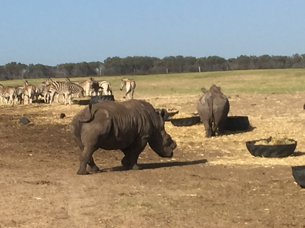 Dehorned white rhino on Game Reserve in South Africa. Dehorned for their own protection from poachers.