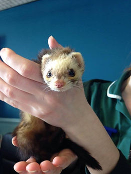 small furries ferret.jpg