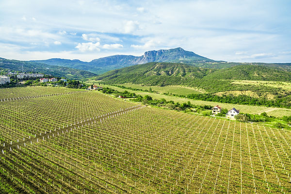 Vineyard in Crimea, Russia. Scenic panor