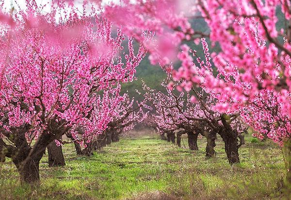Персиковый сад_sm.jpg