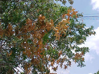 Hisey Company Oak wilt Matthew Hisey