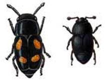 Hisey Company Oak wilt Beetle Matthew Hisey
