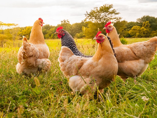 Bio-Geflügel aus kontrollierten Bioland-Betrieben