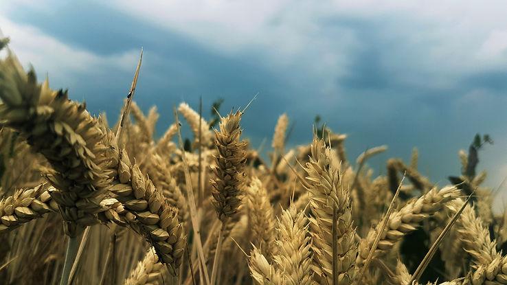 agriculture-barley-close-up-1209491.jpg