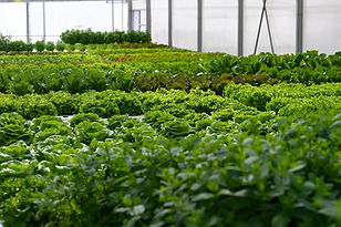 CleanGreens greenhouse high yield lettuces salads herbs production sustainable agriculture premium quality