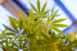 Cannabis02.jpeg