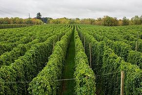 Crosby-Hop-Farm-hops-before-harvest.jpg