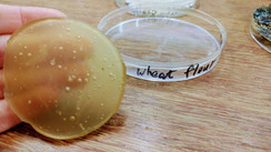 5. bioplastic result - wheat flour based