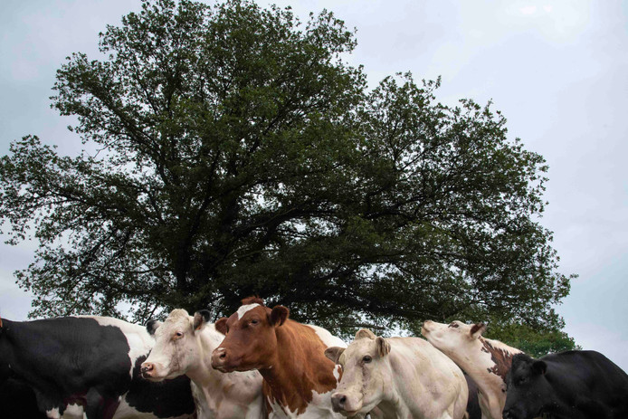 Diversification des races bovines en Wallonie - Belgique