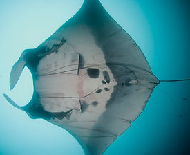 Manta entangled in lines.jpg