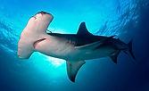 tiburon-martillo-2.jpg