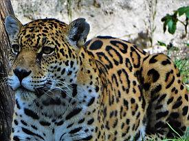 Panthera-onca_edited.jpg
