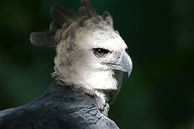 Aguila harpy-02.jpg