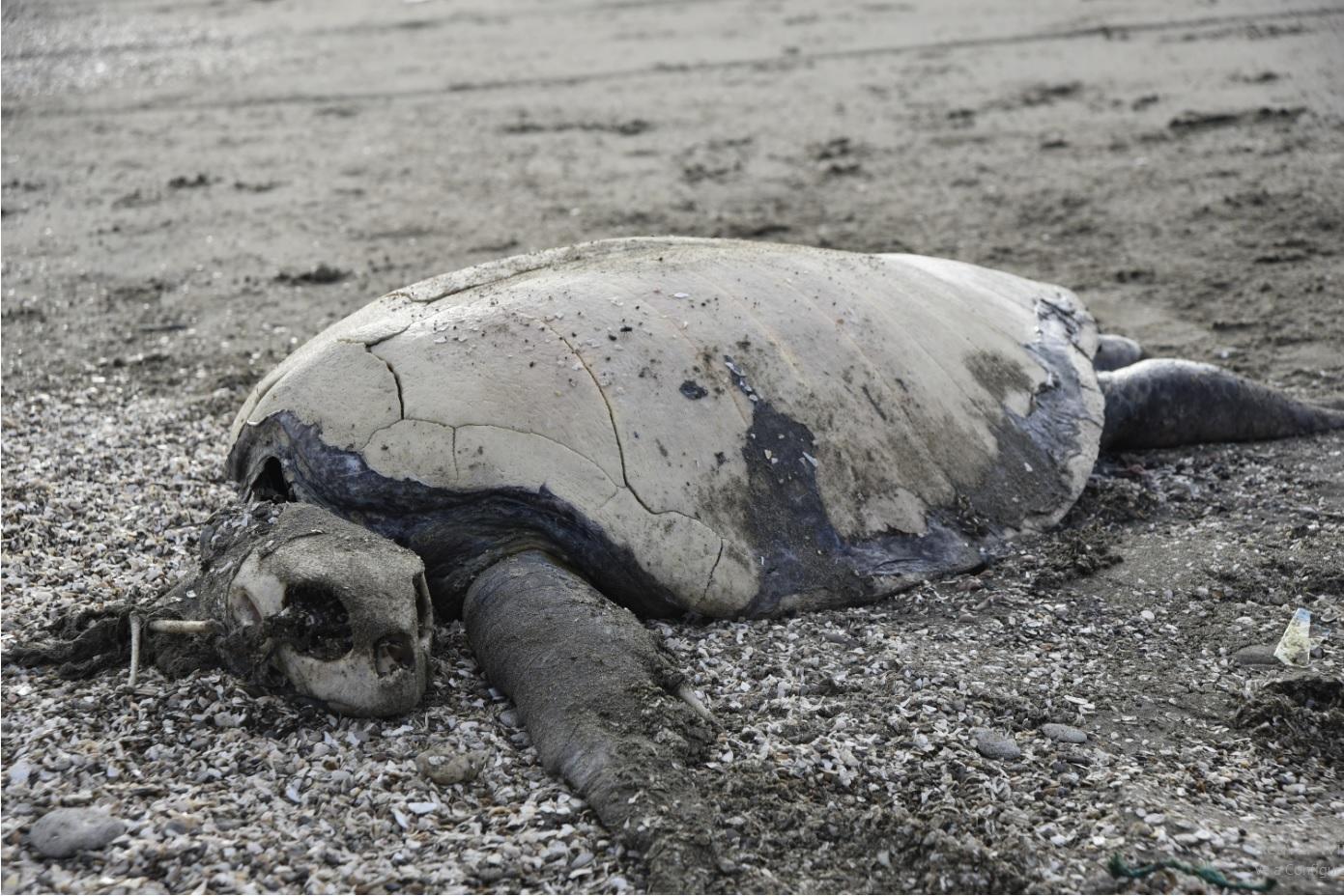 Tortuga muerta por colisión con botes de pesca