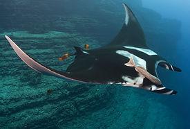 Giant Manta Ray.jpg