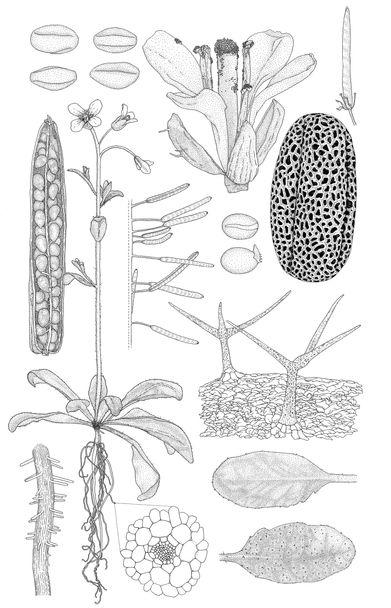 arabidopsis-tweaked-no-scale-smaller-fil