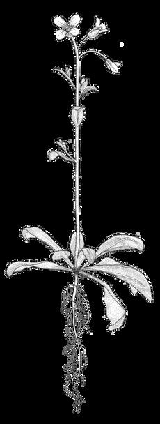 arabidopsis-cutout-white-infill.png