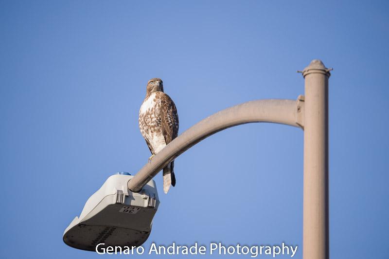 Wild Hawk 1
