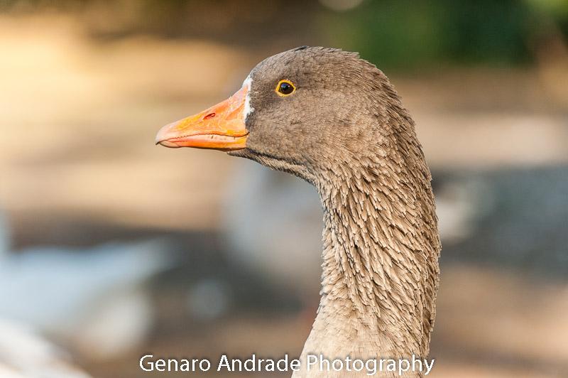 Oregon Ducks 1