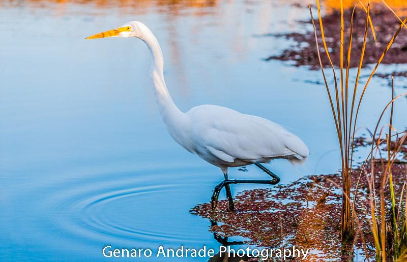 _DSC6339-Snowy Egret