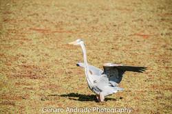 Blue Heron 4