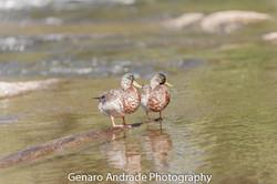 Oregon Ducks 5
