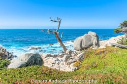 Ghost Tree 1, Monterey