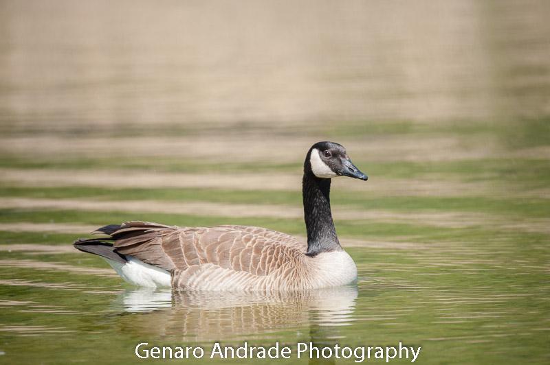 Ducks 1, Shadow Cliffs, Pleasanton Calif