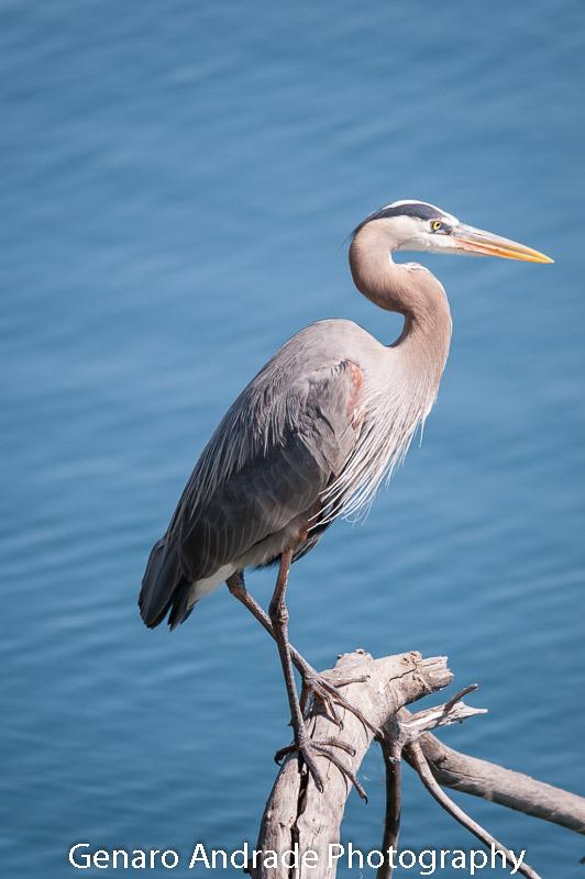 Blue Heron 6 Shadow Cliffs, Pleasanton C