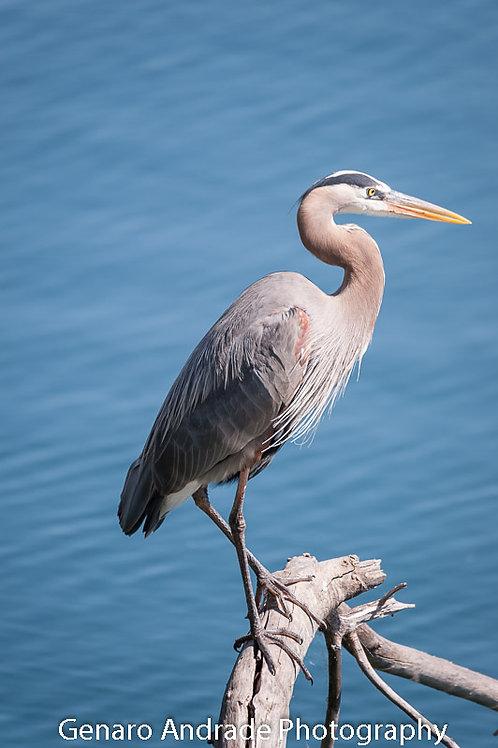 """Blue Heron 6"""