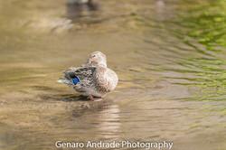 Oregon Duck 6