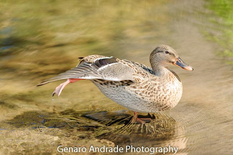 Oregon Ducks 4