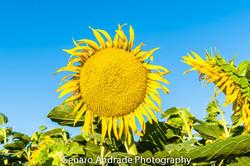 """""""Dragon Eating Sun Flower"""""""
