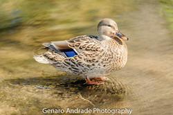Oregon Ducks 3