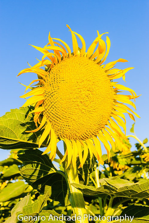 """Sun Flower 1"""