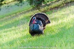 """""""Wild Turkey 1"""""""