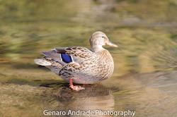 Oregon Ducks 8