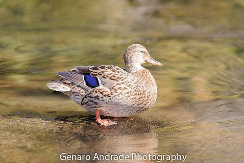 """""""Oregon Ducks # 8"""""""